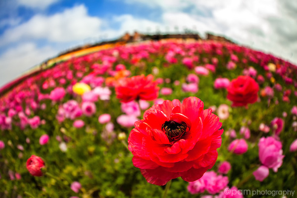 Close-up fisheye image of red ranunculus flowers with other flowers in bloom in the backround