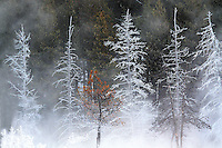 COLD AND HARSH WINTER TEMPERATURES PRODUCE FROST IN THE TREES AT YELLOWSTONE NATIONAL PARK,WYOMING