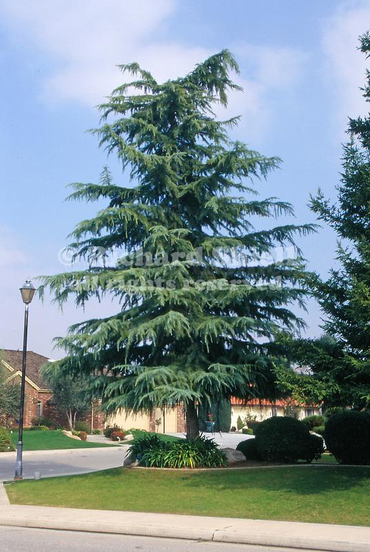 11437-CD Deodar Cedar, Cedrus Deodara, mature specimen in front yard, at Bakersfield, CA USA.