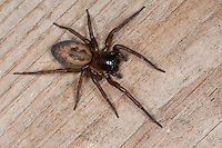 Ähnliche Fensterspinne, Finsterspinne, Kellerspinne, Weibchen, Amaurobius similis, Lace weaver spider, window lace weaver, House spider mouthparts, Finsterspinnen, Amaurobiidae