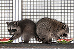 8 week old raccoon munching on a piece of watermelon while under the care of the New England Wildlife Center in Barnstable, Massachusetts, 2-shot.