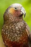New Zealand Kaka (Nestor meridionalis) parrot, North Island, New Zealand