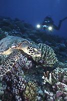 Hawksbill Turtle, Eretmochelys imbricata, feeding on corals with videographer in background, Rangiroa Atoll, Tuamotus, French Polynesia, Pacific Ocean