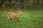 White-tailed fawn browsing in a northern Wisconsin mea