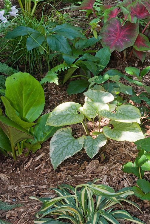 Brunnera King's Ransom, Hosta Little Lines, Pulmonaria, Caladium, Helleborus, Epimedium, Heuchera in bloom, Fragaria, ferns, Digitalis in shade garden