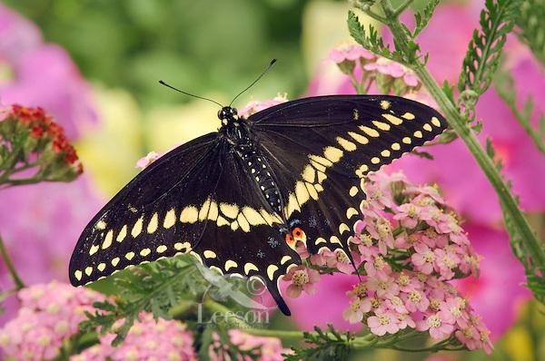 Eastern Black Swallowtail Butterfly male (Papilio polyxenes asterius) on Yarrow (Achillea millefolium) in backyard garden. Summer. Nova Scotia, Canada.
