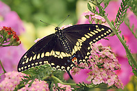 Eastern Black Swallowtail Butterfly male (Papilio polyxenes asterius) on Yarrow (Achillea millefolium) in backyard garden. Summer. Nova Scotia, Canada.