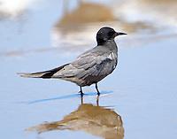 Black tern in breeding plumage
