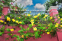 Yellow Allamanda flowers at Hotel 1829. Charlotte Amalle. St. Thomas. US Virgin Islands