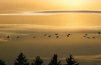Kranich, Trupp, Schwarm im Flug, Flugbild, Grus grus, common crane