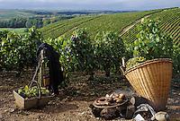 Europe/France/89/Bourgogne/Yonne/Chablis: Déjeuner des vendanges: andouillettes de Chablis et pommes de terre grillées sur des sarments de vigne