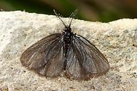 Siebolds Felsflur-Sackträger, Sackträger, Epichnopterix sieboldii, Epichnopterix sieboldi, bagworm, Echte Sackträger, Psychidae, bagworm moths, bagworms, bagmoths