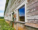 Old bard with peeling paint and overgrown vegitation, sunny day, long row of windows.   Nisqually National Wildlife Refuge, Washington State.