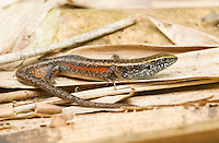 Four-fingered skink, Carlia sp., from the village of Eraulo, Ermera District, Timor-Leste (East Timor).