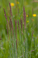 Wolliges Honiggras, Holcus lanatus, Yorkshire fog, tufted grass, meadow soft grass, velvet grass, common velvet grass