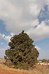 Cypress tree (cupresus sempervirens) in Ilania, the Lower Galilee, Israel<br />