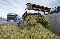 Reco trailer with walking floor unlaoding forage maize - October, Lincolnshire