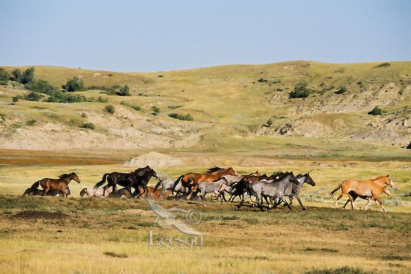 WILD HORSE herd running in Theodore Roosevelt National Park, North Dakota.  Summer..(Equus caballus)