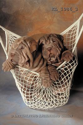Interlitho, Alberto, ANIMALS, dogs, photos, shar peis, net(KL1986/3,#A#) Hunde, perros