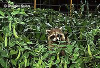 MA25-278z   Raccoon - young raccoon exploring, finding food (peas) in garden - Procyon lotor