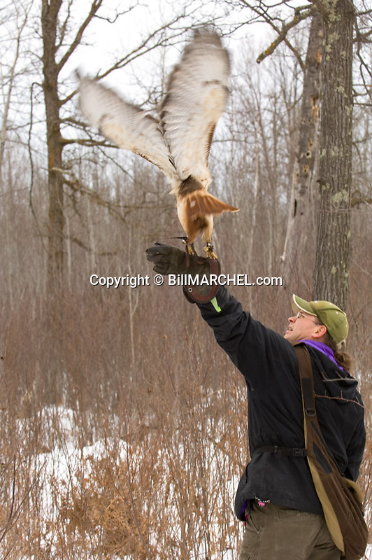 00432-028.17 Falconry (DIGITAL) Falconer casts a red-tailed hawk as he hunts heavy cover during winter.  V5A1