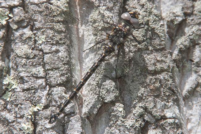 Harlequin Darner (Gomphaeschna furcillata) - Male, Harriman State Park, Stony Point, Rockland County, New York