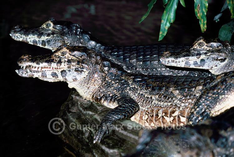 Crocodiles (Crocodylus)