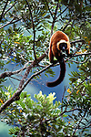 Red Ruffed Lemur (Varecia rubra) (Critically Endangered) territorial calling in rainforest canopy. Masoala NP, north east Madagascar.