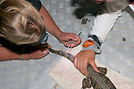 Cutting Scuts For ID's Of Crocodile