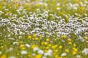 Oxeye Daisies {Leucanthemum vulgare} and Buttercups {Ranunculus acris} flowering in meadow. Birchover, Peak District National Park, Derbyshire, UK. June.