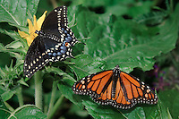Eastern Black Swallowtail female (Papilio polyxenes asterius) on left and Monarch (Danaus plexippus) butterflies in Backyard garden. Summer. Nova Scotia, Canada.
