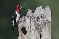 Red-headed Woodpecker (Melanerpes erythrocephalus), adult with dragonfly prey, Raleigh, Wake County, North Carolina, USA
