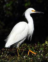 Snowy egret in non-breeding plumage