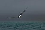 Gibson's Albatross (Diomedea antipodensis gibsoni) flying over ocean, Kaikoura, South Island, New Zealand