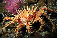 Juvenile Red king crab, Paralithodes camtschaticus, will grow up to be the largest crab on the Pacific coast . It is fished commercially in Alaska, British Columbia, Pacific Ocean