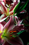 Pair of lilies photographed in studio.