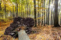 Wurzeln einer umgestürzten Buche, Buchenwald des Grumsiner Forst, Weltnaturerbe der UNESCO, Angermünde, Uckermark, Brandenburg, Deutschland