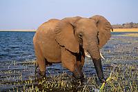 African Elephant feeding along the edge of Lake Kariba, Zimbabwe.