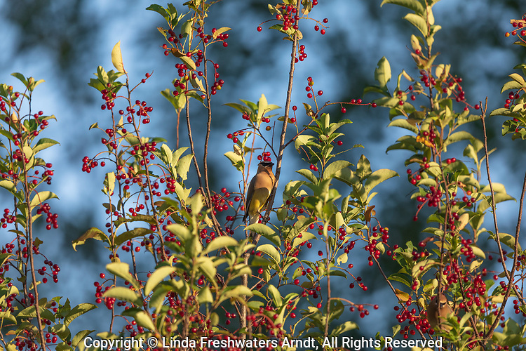 Cedar waxwing perched in a chokecherry in northern Wisconsin.