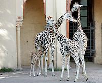 Il cucciolo di giraffa nato lo scorso 28 settembre, in basso a sinistra, succhia il latte dalle mammelle della madre Camerun al Bioparco di Roma, 9 ottobre 2009..A male baby giraffe born on 28 september, bottom left, is nursed by its mother Camerun at Rome's Bioparco, 9 october 2009..UPDATE IMAGES PRESS/Riccardo De Luca