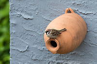 Feldspatz, an Nistkasten aus Ton, Tonröhre, Ton-Nistkasten, Nest, Feld-Spatz, Feldsperling, Feld-Sperling, Spatz, Spatzen, Sperling, Passer montanus, tree sparrow, sparrow, sparrows, Le Moineau friquet