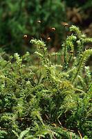 Schöner Runzelbruder, Schöner Runzelpeter, Schönes Kranzmoos, Riemenstengel-Kranzmoos, Rhytidiadelphus loreus, lanky moss