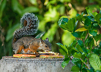 Variegated squirrel, Sciurus variegatoides, taking fruit from a bird feeder in the gardens of the Hotel Bougainvillea, San Jose, Costa Rica