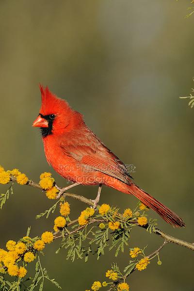 Northern Cardinal (Cardinalis cardinalis), adult male on blooming Huisache tree (Acacia farnesiana), Dinero, Lake Corpus Christi, South Texas, USA
