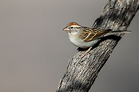 Chipping Sparrow (Spizella passerina arizonae) in winter plumage at Desert Meadows Park, Green Valley, Arizona.