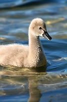 Black Swan Cygnet on the Gold Coast, Queensland, Australia