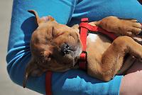 Staffordshire Terrier puppy asleep ...Copyright..John Eveson, Dinkling Green Farm, Whitewell, Clitheroe, Lancashire. BB7 3BN.01995 61280. 07973 482705.j.r.eveson@btinternet.com.www.johneveson.com