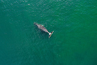 Aerial view of a bowhead whale, Balaena mysticetus, Sea of Okhotsk, Russia, Pacific Ocean