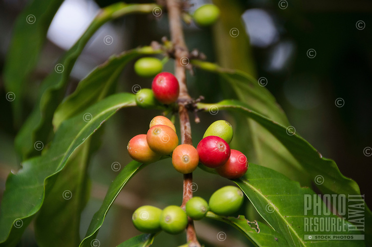 Red and green coffee cherries on tree at Kaleo's Koffee orchard in Pa'auilo Mauka on the Big Island.
