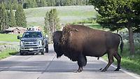 A bison blocks traffic.